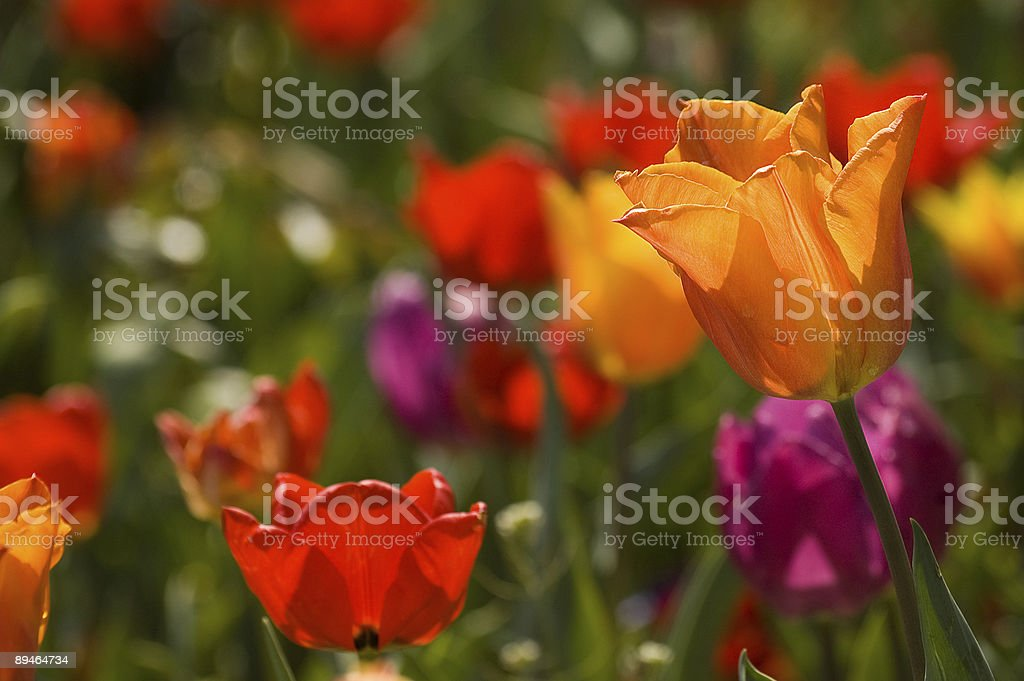 Tulips royalty-free stock photo