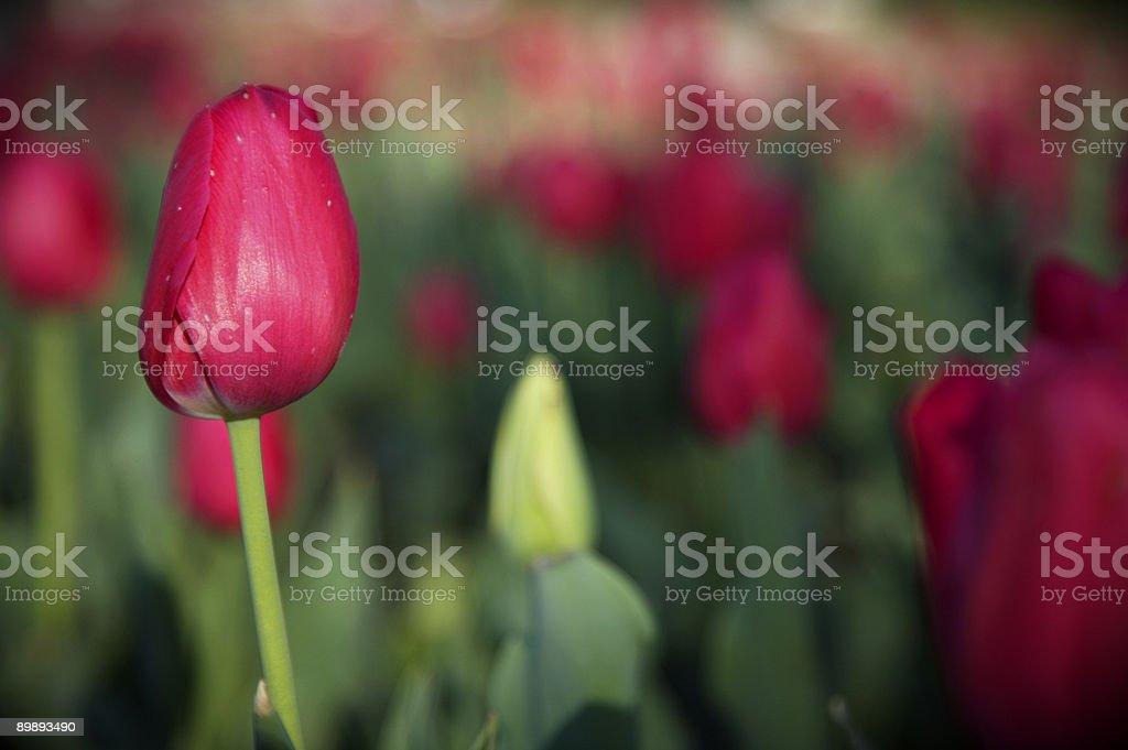 Тюльпаны Стоковые фото Стоковая фотография
