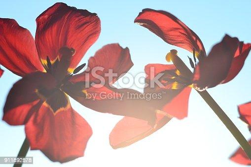 istock Tulips 911892878