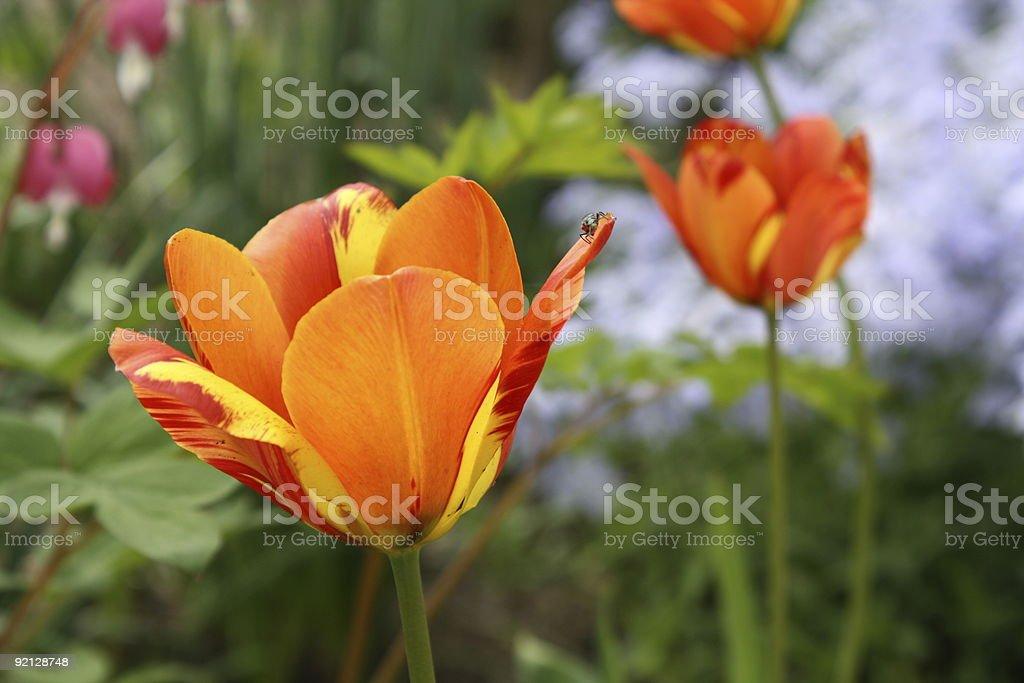 Tulips. royalty-free stock photo