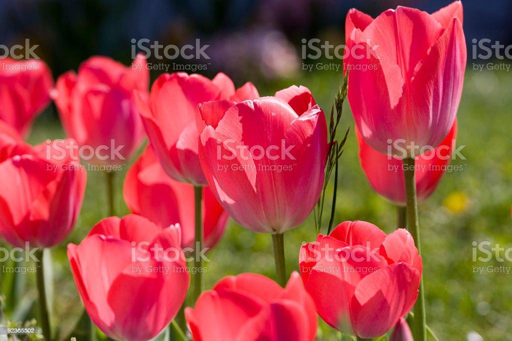 Tulpen Lizenzfreies stock-foto
