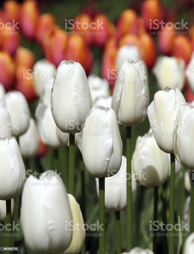 Tulpen royalty-free stock photo