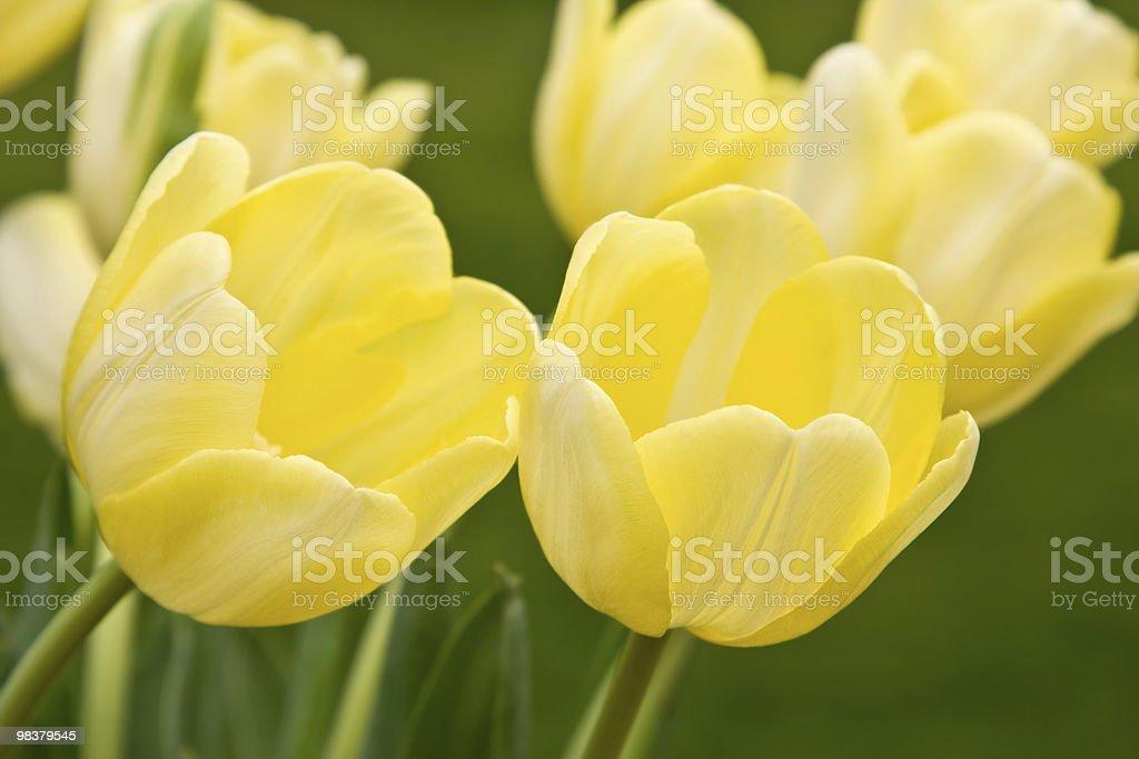 Tulipani foto stock royalty-free