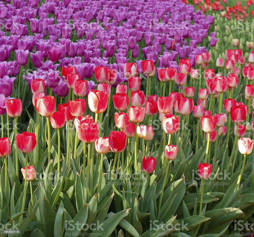 tulips purple and red royalty-free stock photo