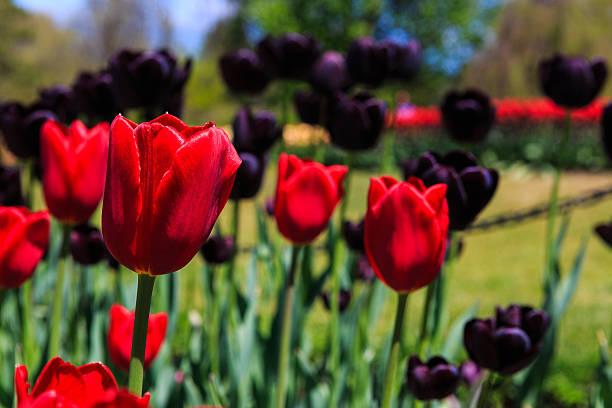 Tulips red and black in Washington Park, Albany NY stock photo