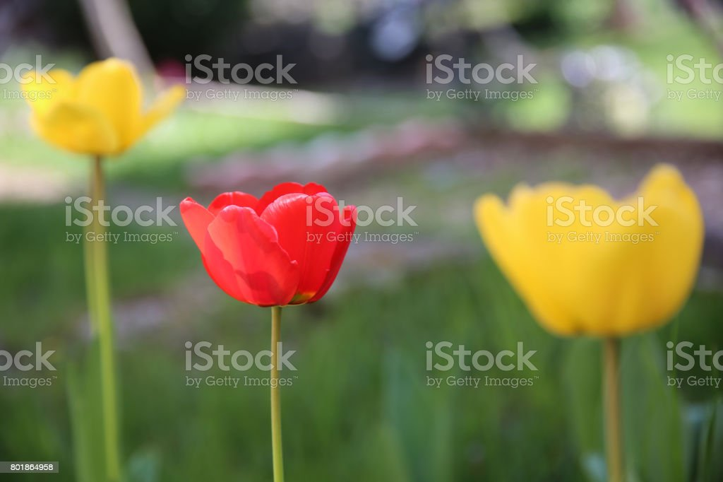 tulips red and yellow stock photo