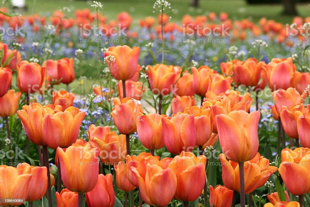 tulips respecful of order -de royalty-free stock photo