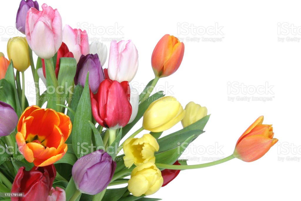 Tulips Series stock photo