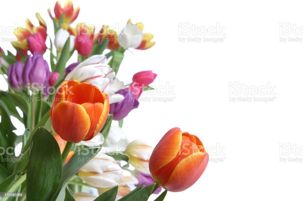 Tulips Series (with copyspace) royalty-free stock photo
