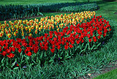 Tulips Job's Memory (Greigii group), Love Songs, Showwinner and Fashion (Kaufmanniana group) grown in the park. Spring time in Netherlands.