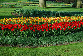 Tulips Stresa and Tulipa Kaufmanniana Showwinner grown in the park.  Spring time in Netherlands.Tulips Stresa and Tulipa Kaufmanniana Showwinner grown in the park.  Spring time in Netherlands.