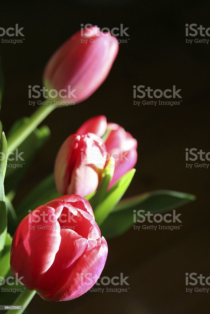 Tulips touched by sunlight royalty-free stock photo