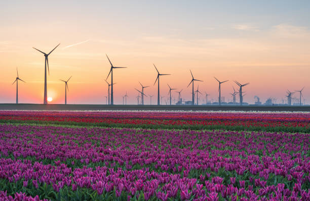 Tulips & Turbines Field of tulips and wind turbines during sunrise in the Dutch countryside. Eemshaven, Groningen, Holland. nederland stock pictures, royalty-free photos & images