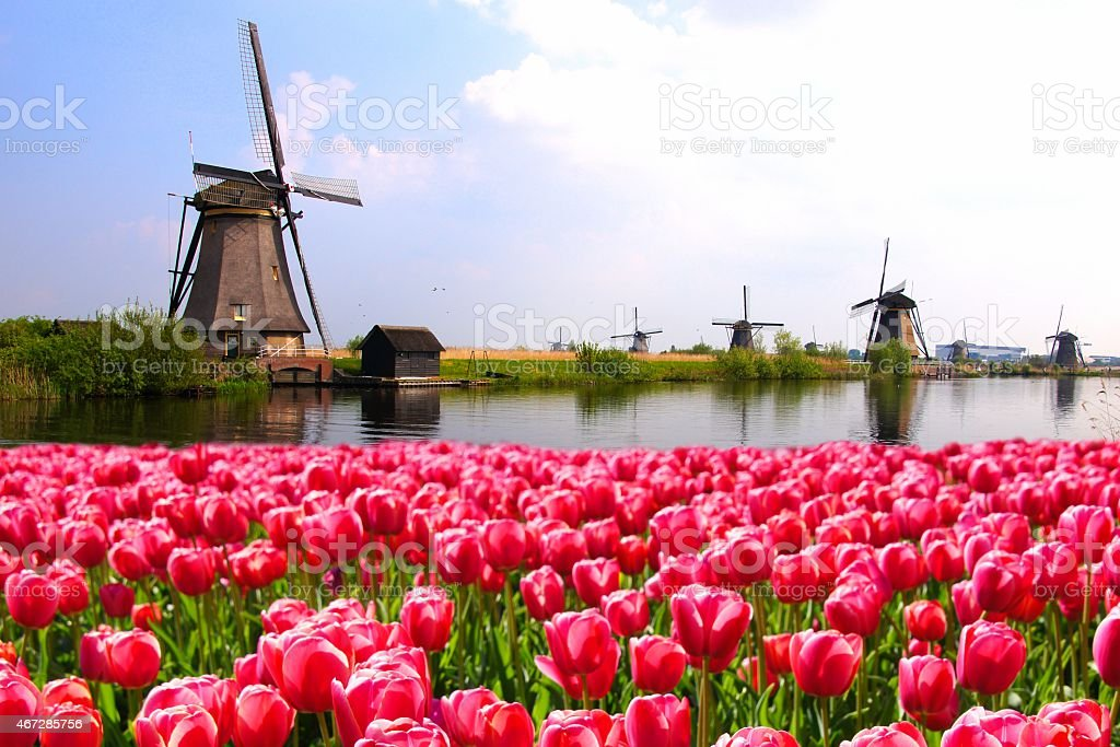Tulips with Dutch windmills and canal stock photo