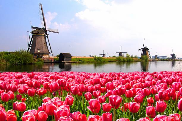 tulips with dutch windmills and canal - netherlands stockfoto's en -beelden
