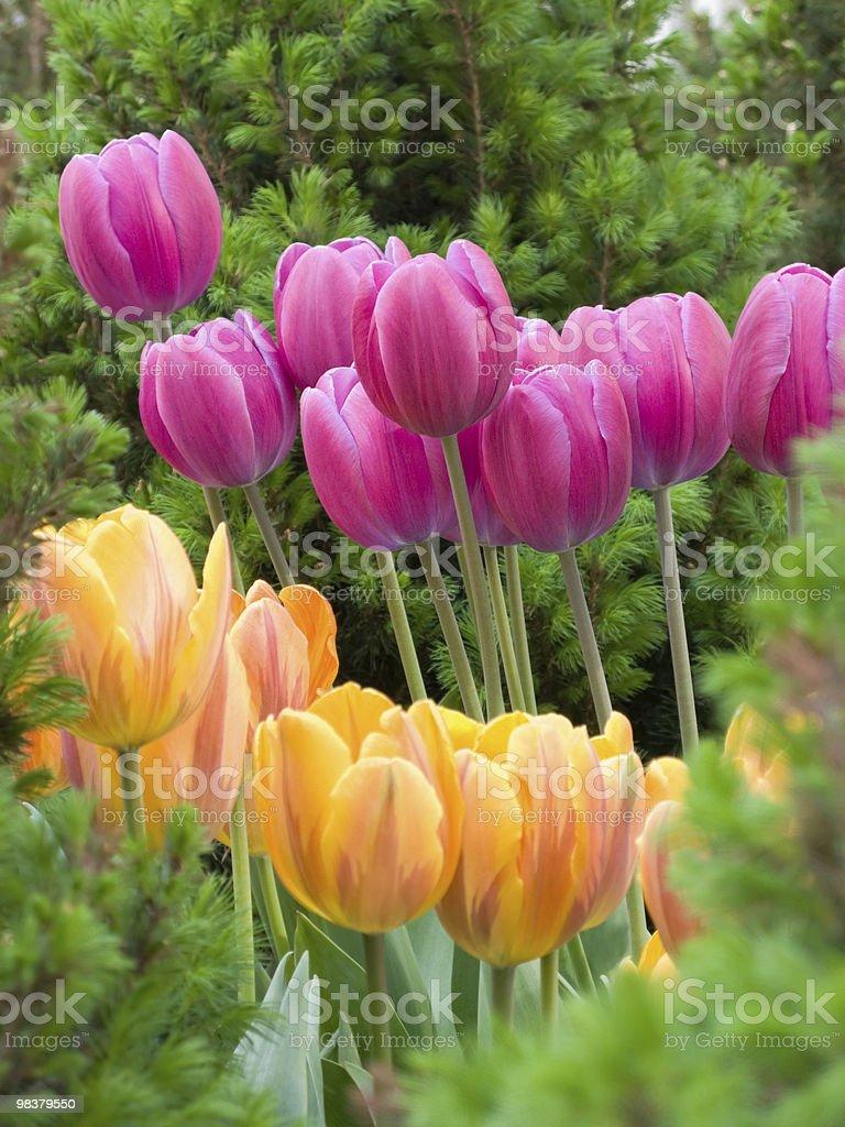 Tulips - XL royalty-free stock photo