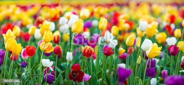 Colourful tulip field XXXL large file