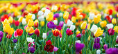 istock Tulips XXXL 186431040