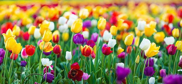 tulipany xxxl - tulipany zdjęcia i obrazy z banku zdjęć