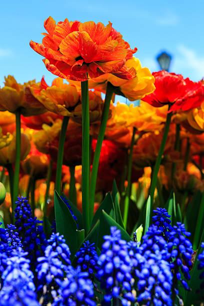 Tulips yellow and orange in Washington Park, Albany NY stock photo