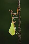Yellow-winged mantis