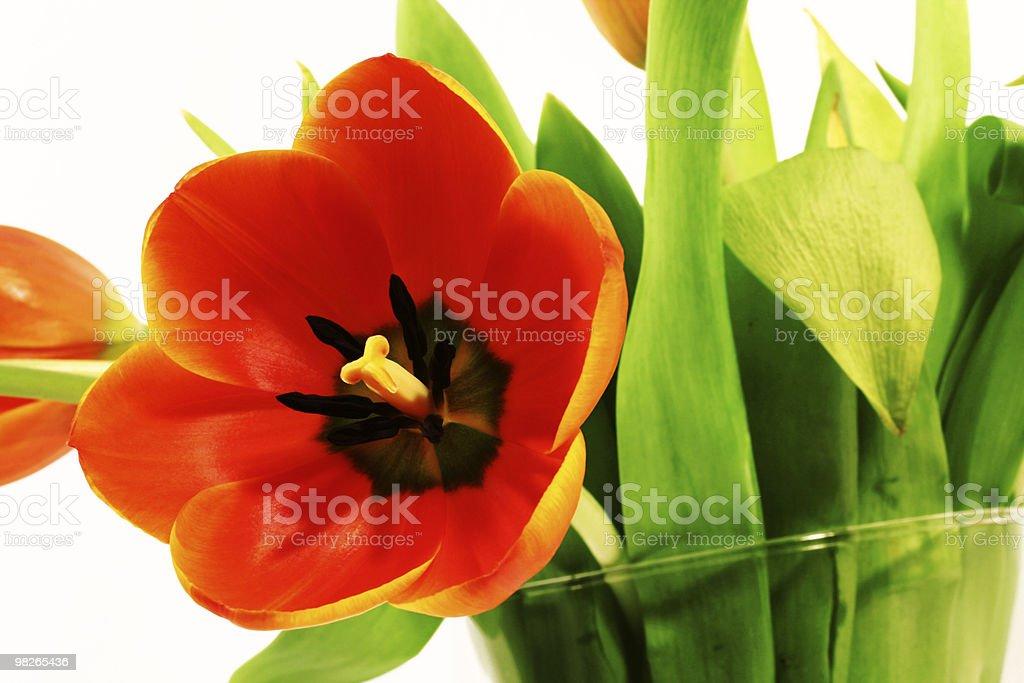Tulpe royalty-free stock photo
