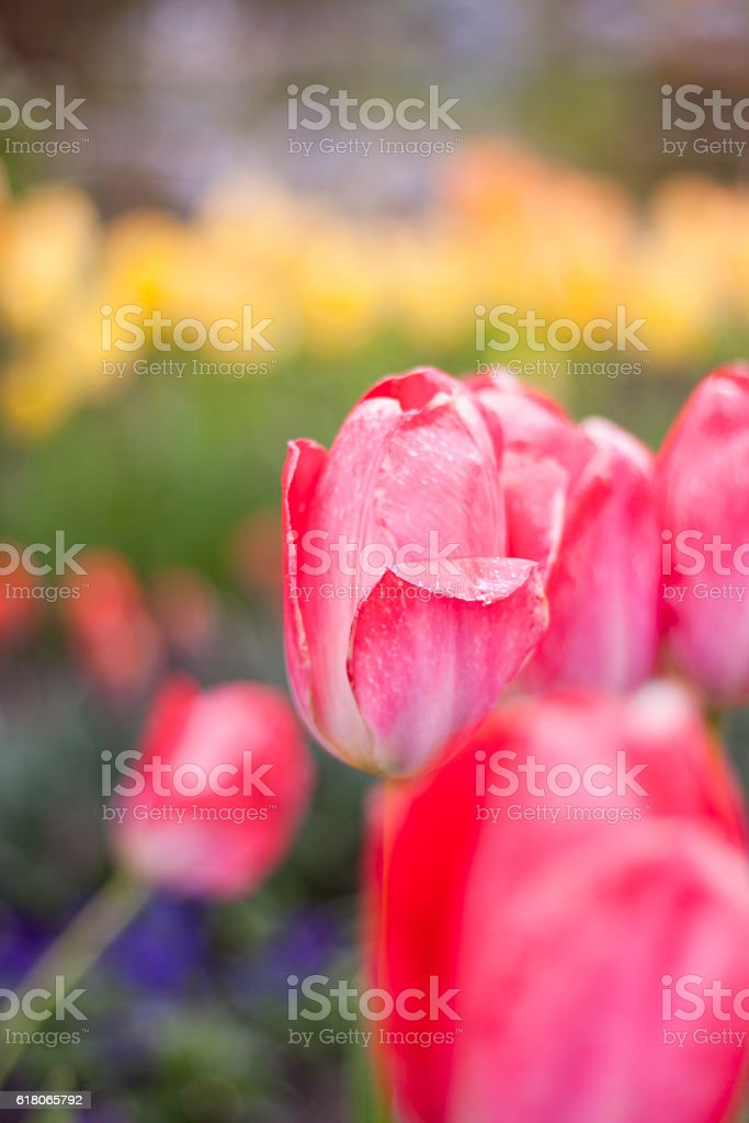 Tulip plaisir rot – Foto
