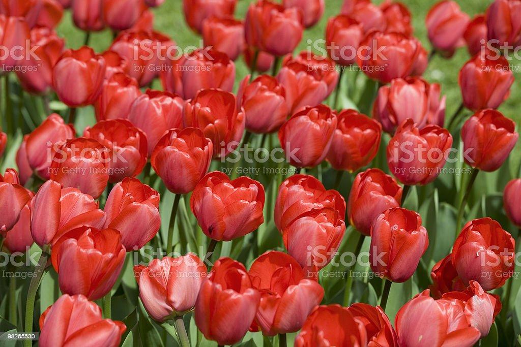 Tulpen royalty-free stock photo