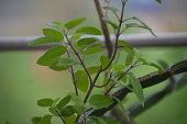 Homegrown indoor tulsi plant, holy basil, medicinal value.