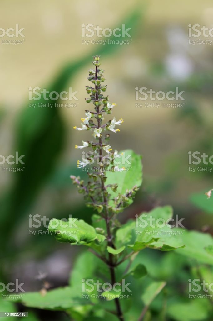 Tulsi Or The Holy Basil Flowers With Blurred Leaves Odisha