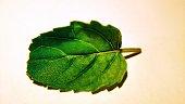 Leaf of tulsi