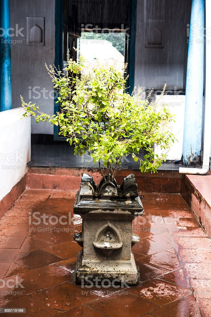 Tulsi plant in an Indian home on a rainy day stock photo