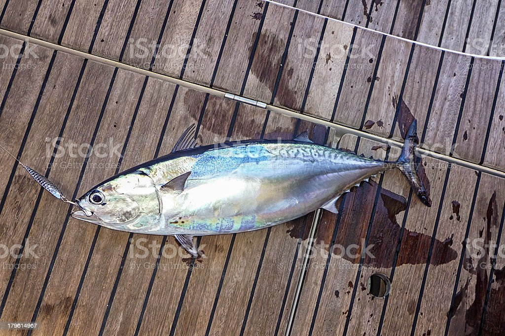 Tuna fish on the deck of a sailing yacht royalty-free stock photo
