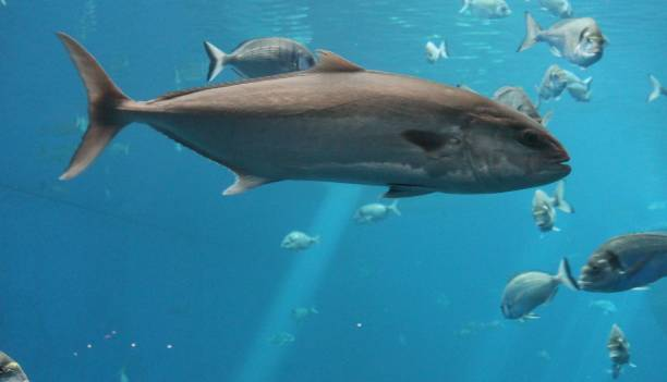 tuna fish swimming underwater known as bluefin tuna, Atlantic bluefin tuna (Thunnus thynnus) , northern bluefin tuna, giant bluefin or tunny stock photo