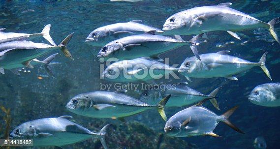 156872766 istock photo Tuna fishes swimming in the aquarium. 814418482
