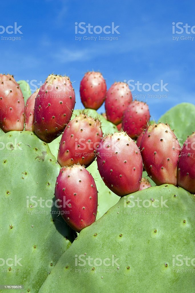 tunas prickly pears royalty-free stock photo