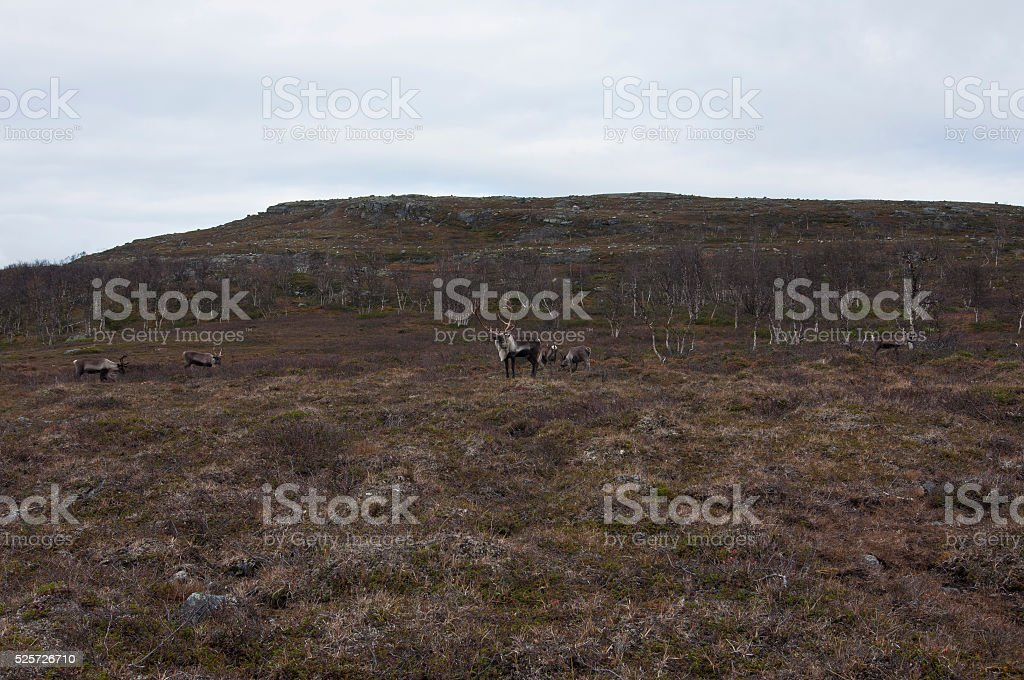 Tundra and reindeers stock photo
