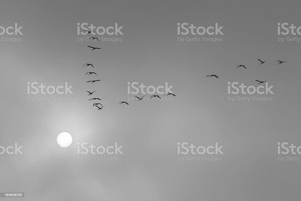 Tundra Swans Fly Toward the Sun, Black and White stock photo