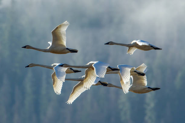 Tundra swans in formation. stock photo