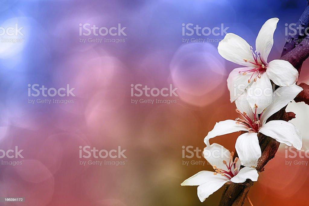tung blossom royalty-free stock photo