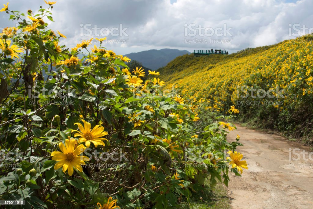Tung Bua Tong or Mexican sunflower bloom in winter on the mountain in Thailand. stock photo