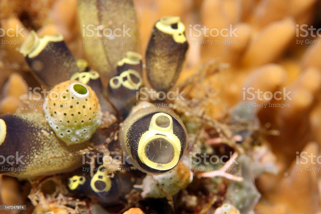 Tunicates stock photo