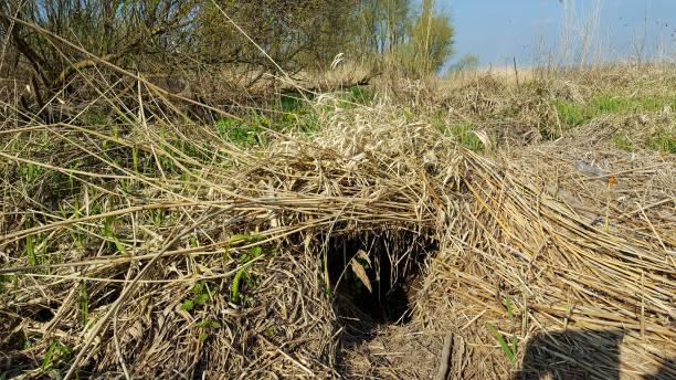 Tunnel en roseau fait par Beaver - Photo