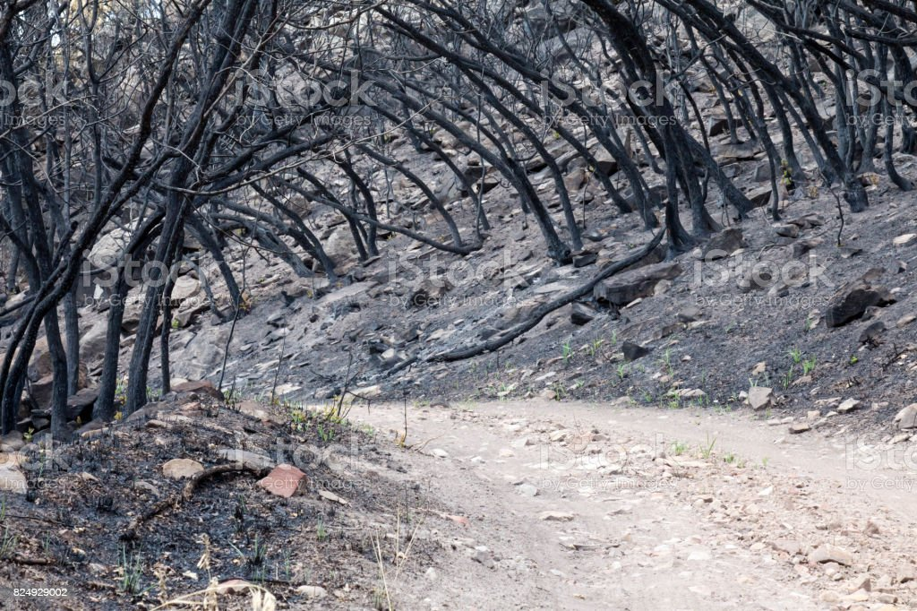 Tunnel of burned bushes from the destruction of a forest fire stock photo