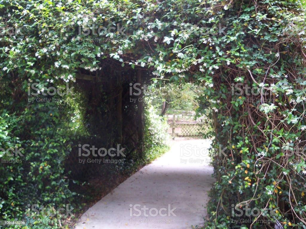 Tunnel of Confederate Jasmine stock photo