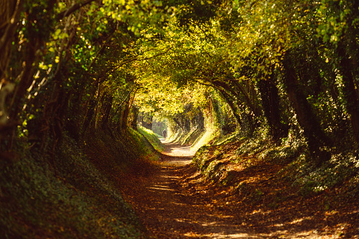 Tunnel of trees pathway in Halnaker, West Sussex.