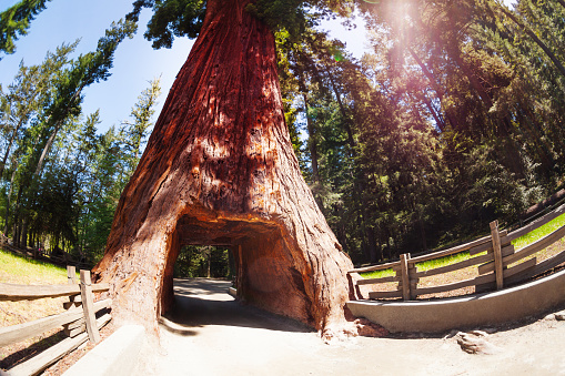 Tunnel through sequoia in Redwood National Park