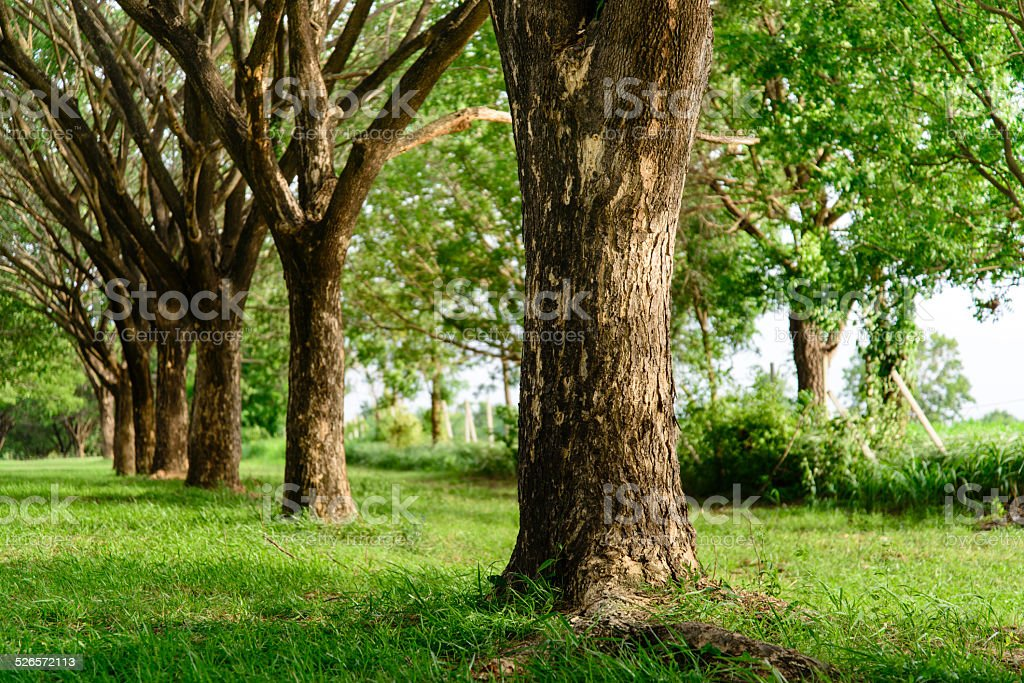 Tunnel tree with beautiful greenery. stock photo