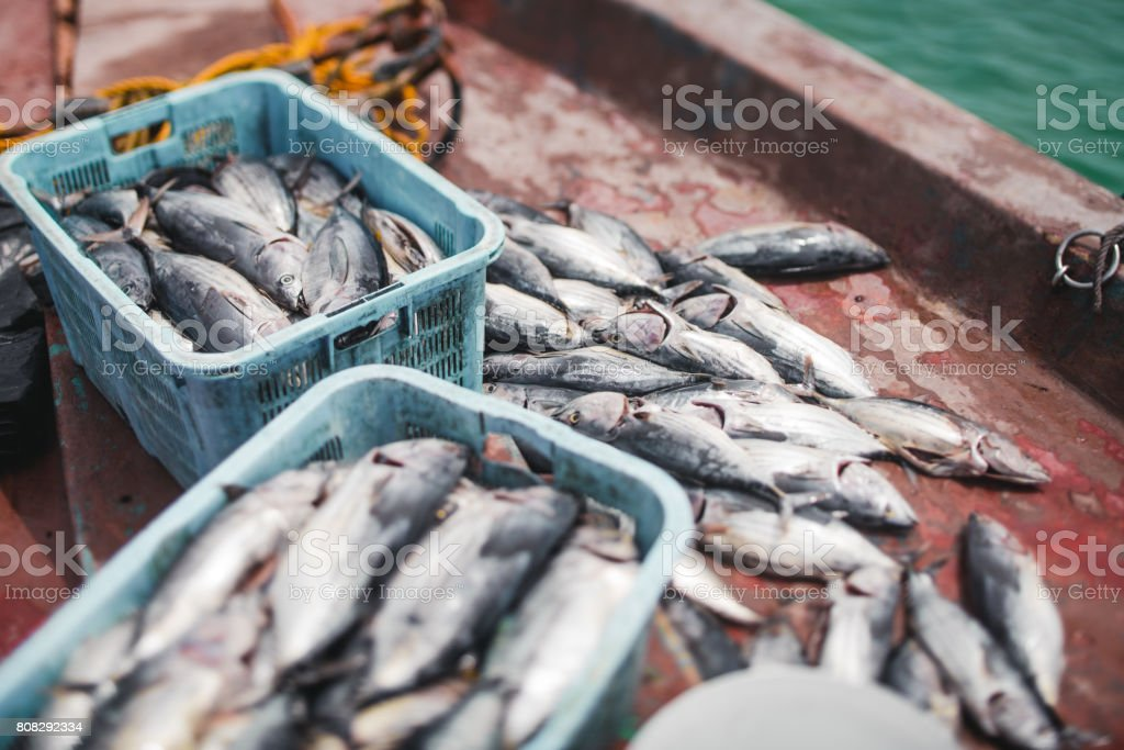 Tunny fish haul on ship deck and in boxes stock photo
