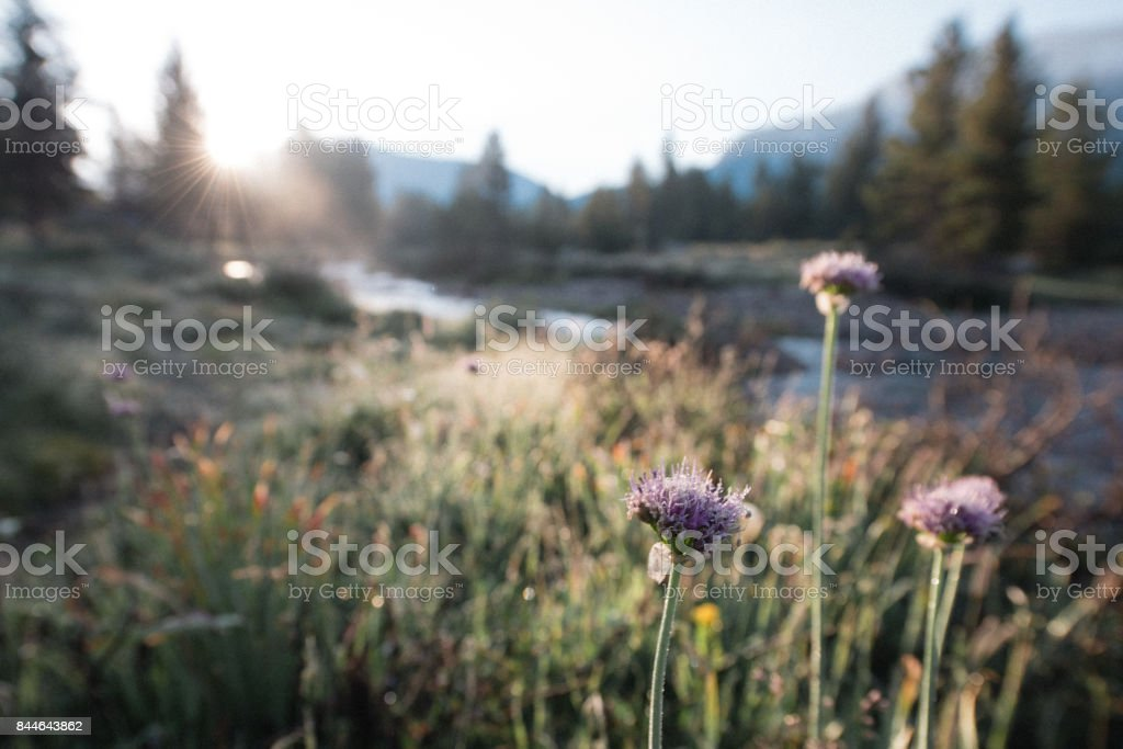 Tuolumne Meadows Wildflowers at Sunrise Yosemite National Park California USA